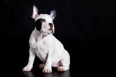 Poursuivez le bouledogue français sur l'animal familier noir d'animal domestique de fond Images stock