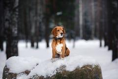 Poursuivez le briquet de race marchant en hiver, portrait Image stock
