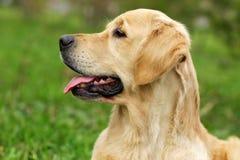 Poursuivez le chien d'arrêt d'or Photographie stock