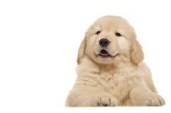 Poursuivez le chien d'arrêt d'or d'animal familier Images stock
