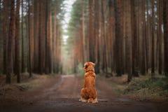 Poursuivez le chien d'arrêt de tintement de canard de Nova Scotia dans la forêt photo stock