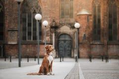 Poursuivez le chien d'arrêt de tintement de canard de Nova Scotia dans la vieille ville photo stock