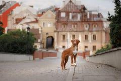Poursuivez le chien d'arrêt de tintement de canard de Nova Scotia dans la ville images libres de droits