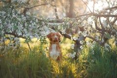 Poursuivez le chien d'arrêt de tintement de canard de Nova Scotia se reposant dans l'herbe Photo libre de droits