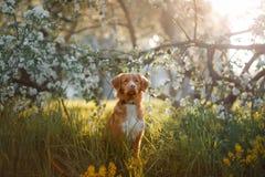 Poursuivez le chien d'arrêt de tintement de canard de Nova Scotia se reposant dans l'herbe Photographie stock