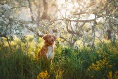 Poursuivez le chien d'arrêt de tintement de canard de Nova Scotia se reposant dans l'herbe Photographie stock libre de droits