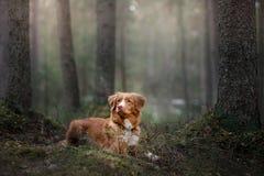 Poursuivez le chien d'arrêt de tintement de canard de Nova Scotia dehors pendant le matin image stock