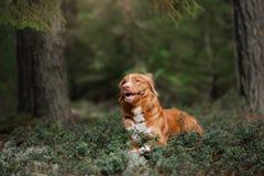 Poursuivez le chien d'arrêt de tintement de canard de Nova Scotia dehors pendant le matin photographie stock libre de droits