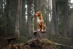 Poursuivez le chien d'arrêt de tintement de canard de Nova Scotia dehors pendant le matin images libres de droits
