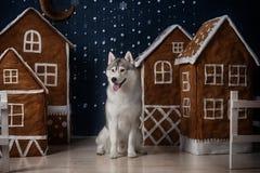 Poursuivez le chien de traîneau sibérien de race, le chien de portrait sur un fond de couleur de studio, le Noël et la nouvelle a Photo libre de droits