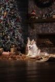 Poursuivez le chien de traîneau sibérien de race, le chien de portrait sur un fond de couleur de studio, le Noël et la nouvelle a Photographie stock libre de droits