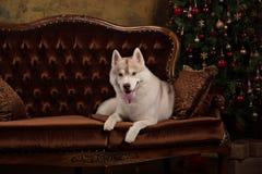 Poursuivez le chien de traîneau sibérien de race, le chien de portrait sur un fond de couleur de studio, le Noël et la nouvelle a Photo stock
