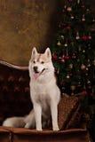 Poursuivez le chien de traîneau sibérien de race, le chien de portrait sur un fond de couleur de studio, le Noël et la nouvelle a Photos stock