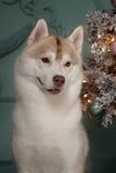 Poursuivez le chien de traîneau sibérien de race, le chien de portrait sur un fond de couleur de studio, le Noël et la nouvelle a Photos libres de droits