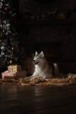 Poursuivez le chien de traîneau sibérien de race, le chien de portrait sur un fond de couleur de studio, le Noël et la nouvelle a Photographie stock