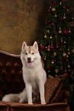 Poursuivez le chien de traîneau sibérien de race, le chien de portrait sur un fond de couleur de studio, le Noël et la nouvelle a Images stock