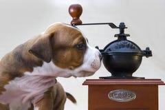 Poursuivez le chiot mignon de portrait le Staffordshire Terrier américain avec la broyeur de café manuelle sur un fond blanc Photographie stock