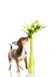 Poursuivez le chiwawa avec des fleurs dans le vase d'isolement sur le fond blanc Images libres de droits