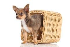 Poursuivez le chiwawa dans la boîte d'isolement sur l'animal familier blanc de fond Photographie stock