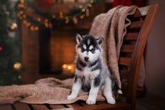 Poursuivez le costaud sibérien, petit chiot mignon de chien de traîneau sibérien Image stock