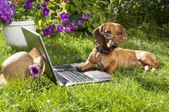 Poursuivez le dachshund et l'ordinateur portable Image stock