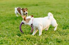 Poursuivez le fonctionnement à partir d'un autre chien et le taquiner avec le jouet images stock