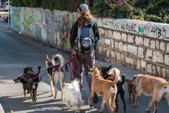 Poursuivez le marcheur dans la rue avec un bon nombre de chiens Image stock
