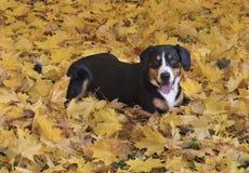Poursuivez le mensonge sur les feuilles jaunes dans Autumn Forest photo libre de droits