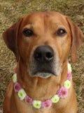 Poursuivez le ridgeback rhodesian avec le collier de chien des fleurs de santini Photos stock