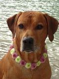 Poursuivez le ridgeback rhodesian avec le collier de chien des fleurs de santini Photo stock