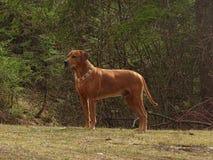 Poursuivez le ridgeback rhodesian avec le collier de chien des fleurs de santini Photos libres de droits