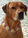 Poursuivez le ridgeback rhodesian avec le collier de chien des fleurs de santini Photo libre de droits