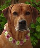 Poursuivez le ridgeback rhodesian avec le collier de chien des fleurs de santini Image stock