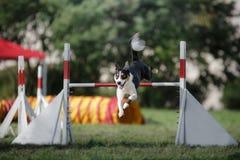 Poursuivez le saut au-dessus d'un saut à un événement d'agilité Photo stock
