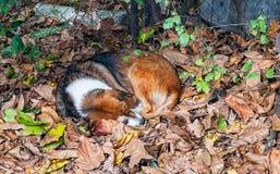 Poursuivez le sommeil dans les feuilles d'automne dans l'arrière-cour Image libre de droits