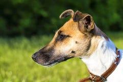 Poursuivez le terrier de renard de race en parc, profil Image libre de droits