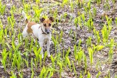 Poursuivez le terrier de renard de race sur un muguet vert de pré Photo stock