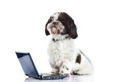 Poursuivez le tzu de Shih avec l'ordinateur d'isolement sur le chien blanc de fond photographie stock libre de droits