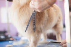 Poursuivez les chiens principaux de toilettage de femmes de coupe de cheveux de Pomeranian dans un salon photographie stock