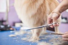 Poursuivez les chiens principaux de toilettage de femmes de coupe de cheveux de Pomeranian dans un salon photos libres de droits
