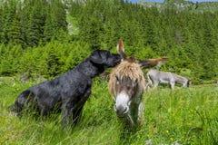 Poursuivez les secrets de chuchotement son ami d'âne, fermez-vous  Images libres de droits