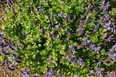 Poursuivez les transitoires de fleur de fléau du ` s dans la floraison pourpre bleue dans le jardin photos libres de droits