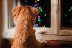 Poursuivez Nova Scotia Duck Tolling Retriever, Noël et la nouvelle année, chien de portrait sur un fond de couleur de studio Photo libre de droits