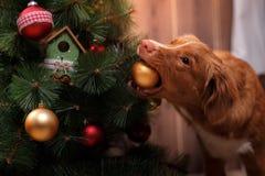 Poursuivez Nova Scotia Duck Tolling Retriever, Noël et la nouvelle année, chien de portrait sur un fond de couleur de studio Photos libres de droits