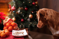 Poursuivez Nova Scotia Duck Tolling Retriever, Noël et la nouvelle année, chien de portrait sur un fond de couleur de studio Photographie stock libre de droits