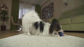 Poursuivez Papillon jouant avec une boule sur une couverture dans la vidéo de longueur d'actions de salon banque de vidéos