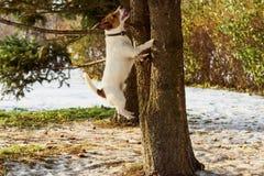 Poursuivez sauter sur l'arbre chassant l'écureuil au parc d'hiver photo libre de droits