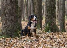 Poursuivez se reposer sur les feuilles jaunes dans Autumn Forest image libre de droits