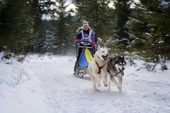Poursuivez sledding avec le chien de traîneau sur la concurrence internationale de traîneau de chien Photographie stock libre de droits