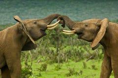 Poussée des éléphants Photo stock